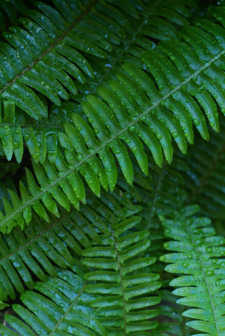 Ferns | NIKON 50MM F/1.8 AF <br> Click image for more details, Click <b>X</b> on top right of image to close