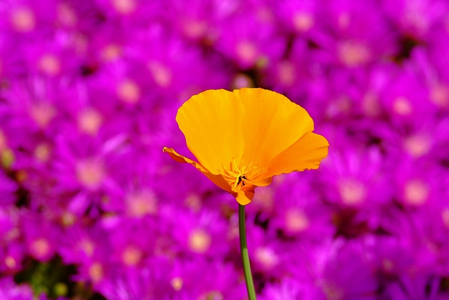 Be the Orange in a World of Purple... | NIKON 180MM F/2.8 ED-IF AF <br> Click image for more details, Click <b>X</b> on top right of image to close