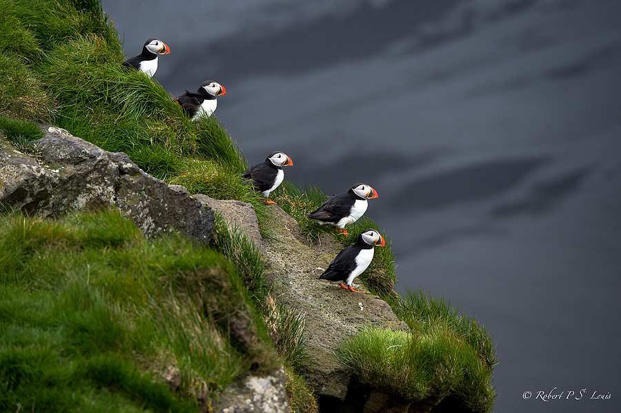 Puffin Pre-Flight | NIKON AF-S 80-400MM VRII <br> Click image for more details, Click <b>X</b> on top right of image to close