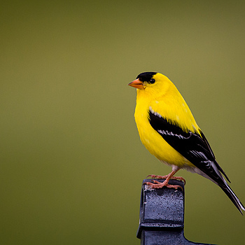 American Goldfinch | NIKON 200-400MM F/4G ED-IF AF-S VR <br> Click image for more details, Click <b>X</b> on top right of image to close