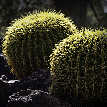Golden Barrel Cactus | NIKON 28-300MM F/3.5-5.6G ED VR <br> Click image for more details, Click <b>X</b> on top right of image to close