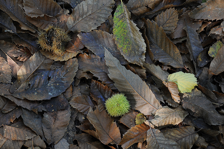 Chestnut and leaves | NIKON 24-120MM F/3.5-5.6D AF <br> Click image for more details, Click <b>X</b> on top right of image to close