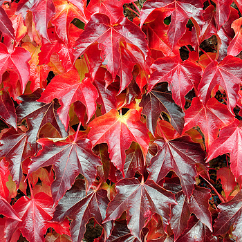 Virginia creeper colours | NIKON 24-85MM F/2.8-4D IF AF <br> Click image for more details, Click <b>X</b> on top right of image to close