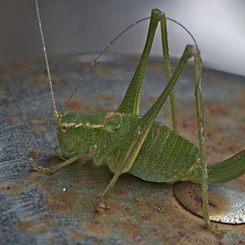 Grasshopper | NIKON 105MM F/2.8G AF MICRO VR <br> Click image for more details, Click <b>X</b> on top right of image to close