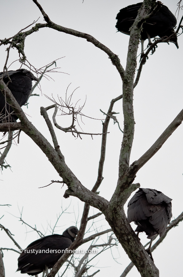 Buzzards Roosting | LENS MODEL NOT SET <br> Click image for more details, Click <b>X</b> on top right of image to close