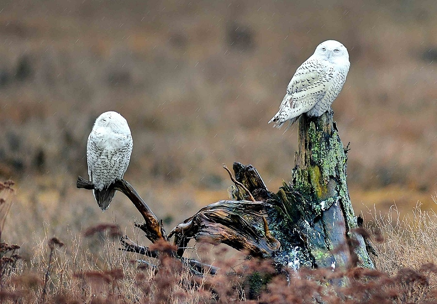 Snowy Owls 6 | NIKON 600MM F/4D ED-IF AF-I <br> Click image for more details, Click <b>X</b> on top right of image to close