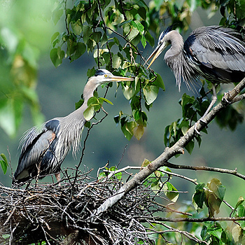 Nesting Herons 3 | NIKON 600MM F/4D ED-IF AF-I <br> Click image for more details, Click <b>X</b> on top right of image to close