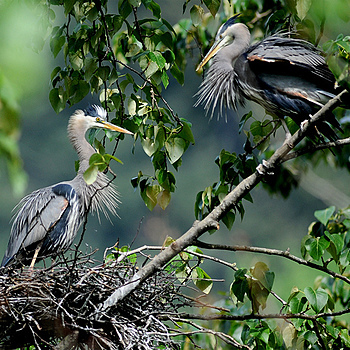 Nesting Herons 2 | NIKON 600MM F/4D ED-IF AF-I <br> Click image for more details, Click <b>X</b> on top right of image to close