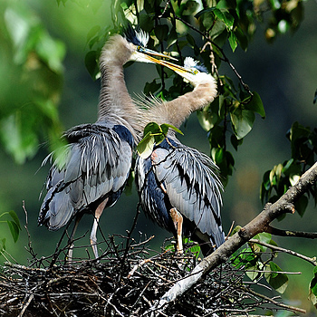 Nesting Herons 1 | NIKON 600MM F/4D ED-IF AF-I <br> Click image for more details, Click <b>X</b> on top right of image to close