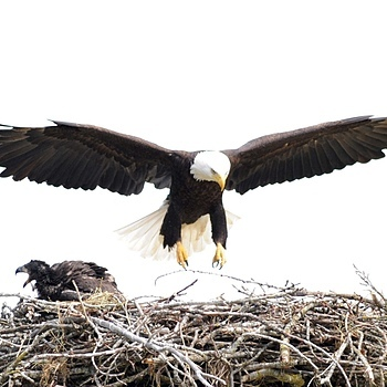 Eagle & Nest 2 | NIKON 600MM F/4D ED-IF AF-I <br> Click image for more details, Click <b>X</b> on top right of image to close