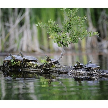 Gardom Lk Turtles | NIKON 200-400MM F/4G ED-IF AF-S VR <br> Click image for more details, Click <b>X</b> on top right of image to close