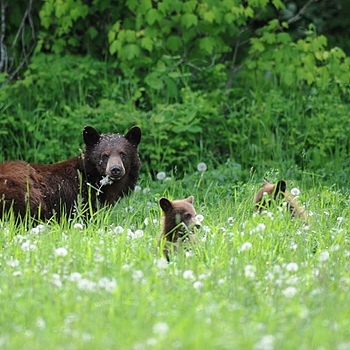 Grizzly & Cubs | NIKON 600MM F/4D ED-IF AF-I <br> Click image for more details, Click <b>X</b> on top right of image to close