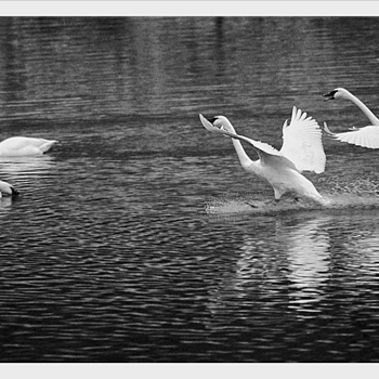 Swans 10 | LENS MODEL NOT SET <br> Click image for more details, Click <b>X</b> on top right of image to close