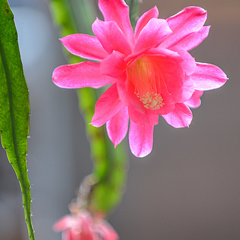 Pink Orchid Cactus | NIKON 24-70MM F/2.8G ED AF-S N <br> Click image for more details, Click <b>X</b> on top right of image to close