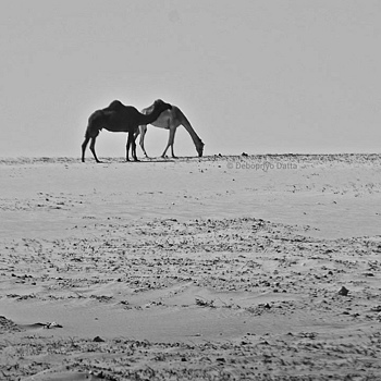 Wild Camels | NIKON 18-200MM F/3.5-5.6G ED-IF AF-S VR DX <br> Click image for more details, Click <b>X</b> on top right of image to close