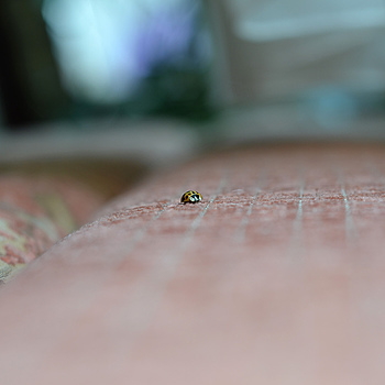 Coccinellidae | NIKON 50MM F/1.8D AF <br> Click image for more details, Click <b>X</b> on top right of image to close