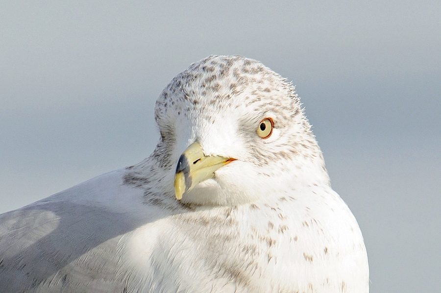 Ring-Billed Seagull 02 | NIKON 80-400MM F/4.5-5.6D ED AF VR <br> Click image for more details, Click <b>X</b> on top right of image to close