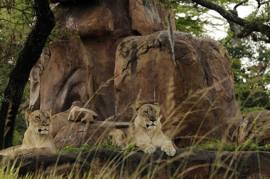 Lions | NIKON 80-400MM F/4.5-5.6D ED AF VR <br> Click image for more details, Click <b>X</b> on top right of image to close