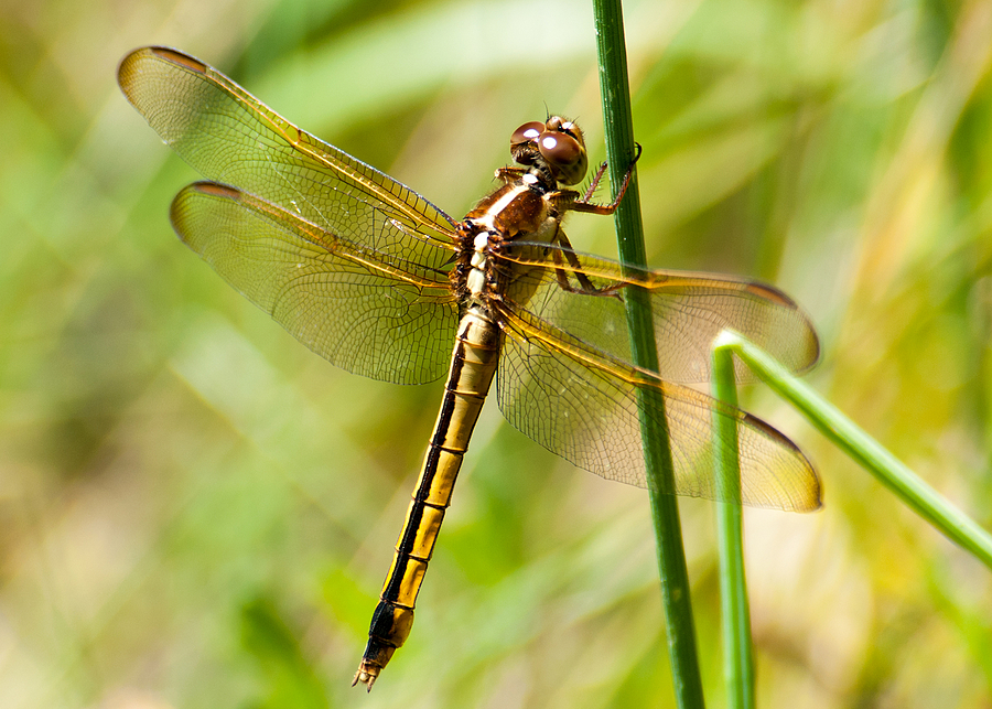 Needham's Dragonfly 01 | NIKON 80-400MM F/4.5-5.6D ED AF VR <br> Click image for more details, Click <b>X</b> on top right of image to close