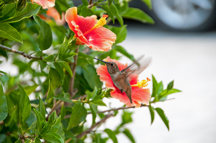 Rufous Hummingbird 01 | NIKON 18-200MM F/3.5-5.6G ED-IF AF-S VR DX <br> Click image for more details, Click <b>X</b> on top right of image to close