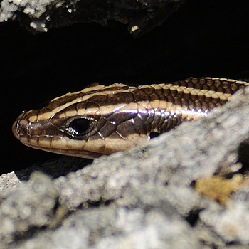 Common Five-Lined Skink 01