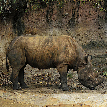 Black Rhino | LENS MODEL NOT SET <br> Click image for more details, Click <b>X</b> on top right of image to close