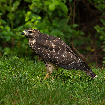 Red Shoulder Hawk 02 | NIKON 80-400MM F/4.5-5.6D ED AF VR <br> Click image for more details, Click <b>X</b> on top right of image to close