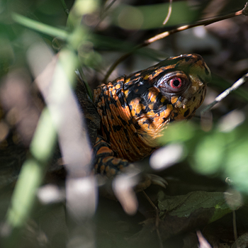 Eastern Box Turtle | NIKON 80-400MM F/4.5-5.6D ED AF VR <br> Click image for more details, Click <b>X</b> on top right of image to close
