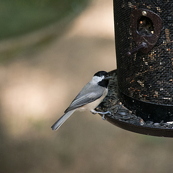 Black-Capped Chickadee | SIGMA 50-500MM F4.5-6.3 DG OS HSM <br> Click image for more details, Click <b>X</b> on top right of image to close