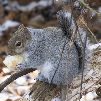 Grey Squirrel 01 | SIGMA 50-500MM F4.5-6.3 DG OS HSM