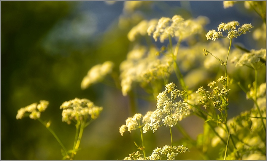 Cow Parsley is blooming ... | LENS MODEL NOT SET <br> Click image for more details, Click <b>X</b> on top right of image to close