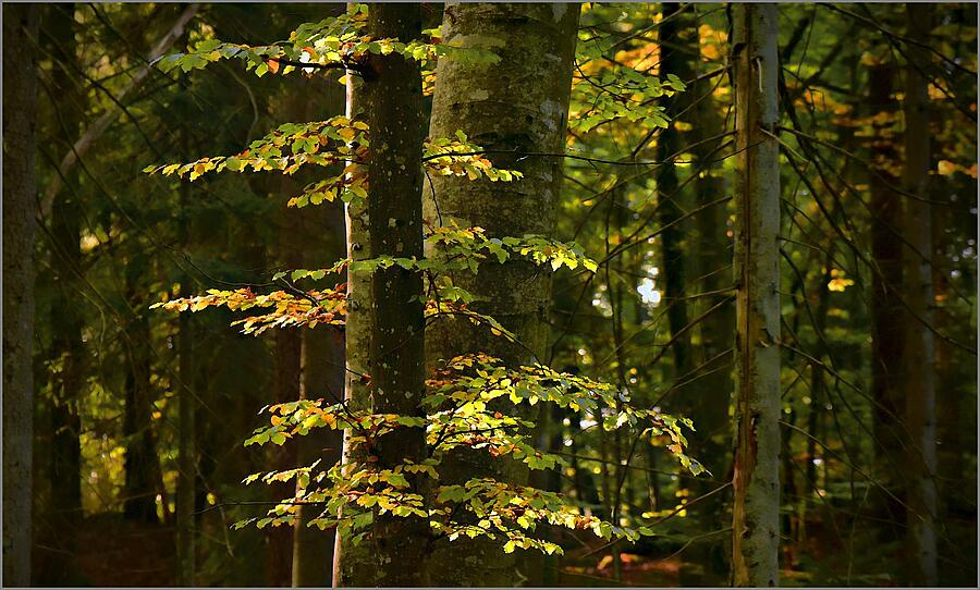 Beech Woods | TAMRON SP 70-300MM F4-5.6 DI VC USD SP <br> Click image for more details, Click <b>X</b> on top right of image to close