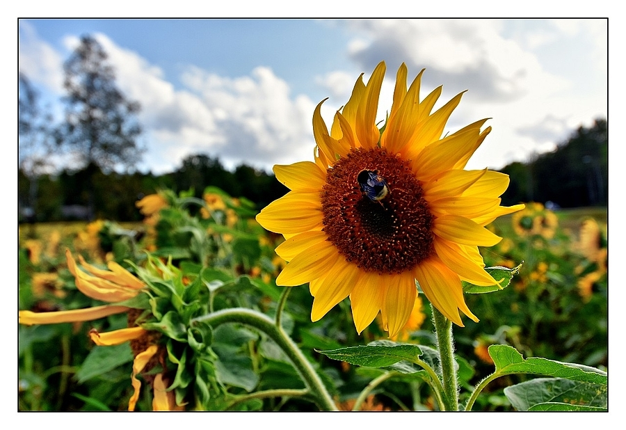 Bumble Bee on Sunflower | NIKON 12-24MM F/4G ED-IF AF-S DX <br> Click image for more details, Click <b>X</b> on top right of image to close