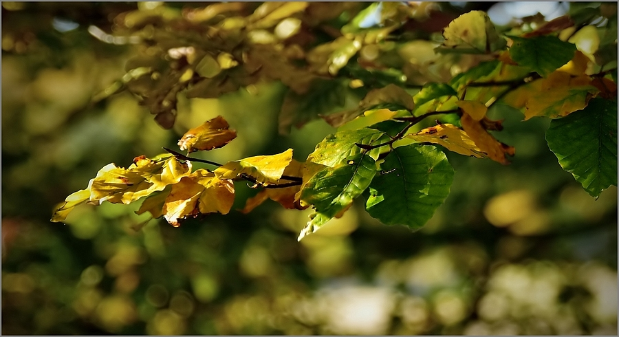 Beech Tree Foliage | TAMRON SP 24-70MM F/2.8 DI VC USD <br> Click image for more details, Click <b>X</b> on top right of image to close