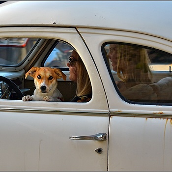Drive-by dog | NIKKOR AF-S 70-200MM F/4G ED VR <br> Click image for more details, Click <b>X</b> on top right of image to close