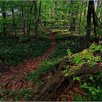 Path Through The Beech Woods | NIKON 16-85MM F/3.5-5.6G ED AF-S VR DX <br> Click image for more details, Click <b>X</b> on top right of image to close