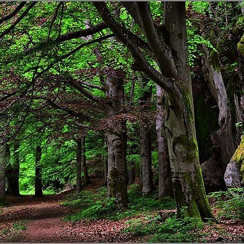 Deep In The Beech Woods | NIKON 16-85MM F/3.5-5.6G ED AF-S VR DX <br> Click image for more details, Click <b>X</b> on top right of image to close