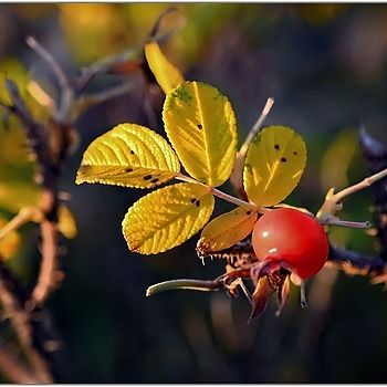 Rosehip - Last Fruit of the Year | SIGMA ART 18-35MM F/1.8 DC <br> Click image for more details, Click <b>X</b> on top right of image to close