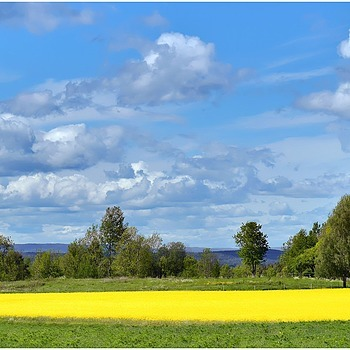 Canola Fields In Bloom