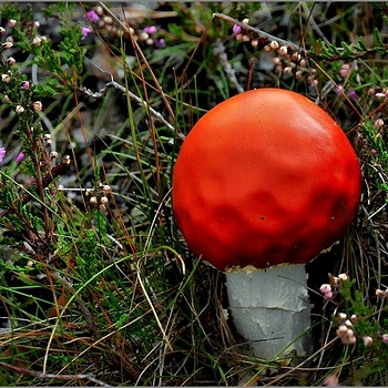 Red Toadstool Mushroom (Poisenous!!) | NIKON 16-85MM F/3.5-5.6G ED AF-S VR DX <br> Click image for more details, Click <b>X</b> on top right of image to close