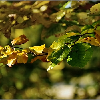 Beech Tree Foliage | TAMRON SP 24-70MM F/2.8 DI VC USD