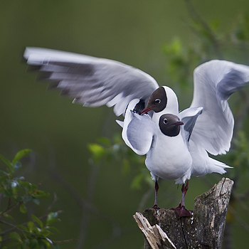 Black-headed gulls | LENS MODEL NOT SET <br> Click image for more details, Click <b>X</b> on top right of image to close