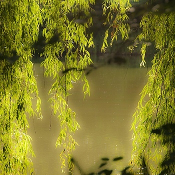 Willow Tree | NIKON 18-200MM F/3.5-5.6G ED-IF AF-S VR DX II