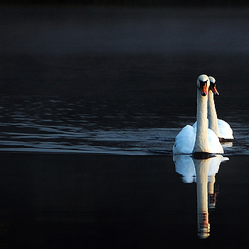 Early Morning Swans | NIKON 18-55MM F/3.5-5.6G ED AF-S DX <br> Click image for more details, Click <b>X</b> on top right of image to close