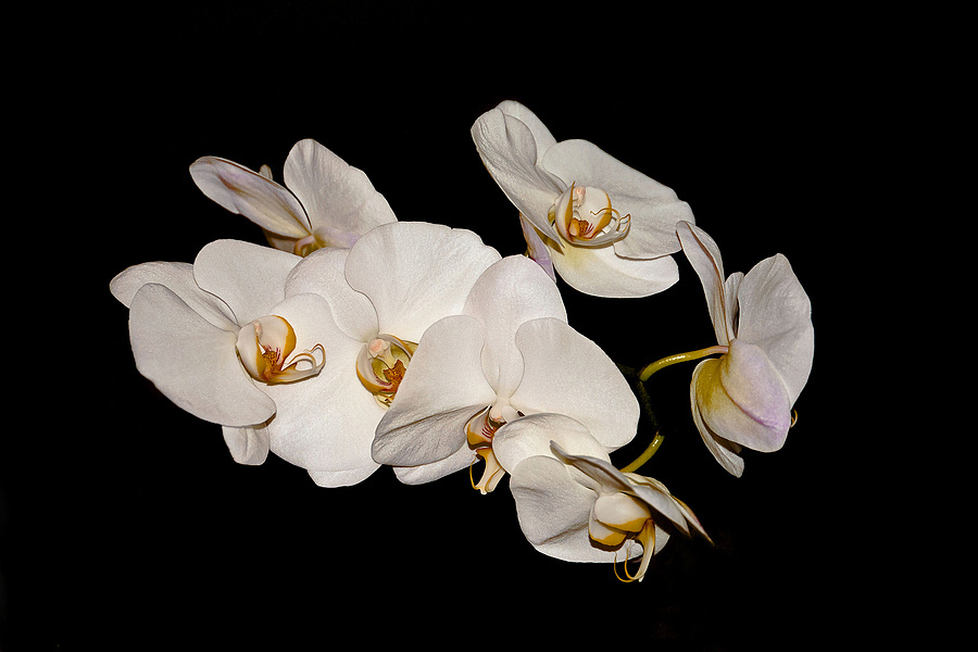Orchids | NIKON 24-120MM F/4G ED VR <br> Click image for more details, Click <b>X</b> on top right of image to close