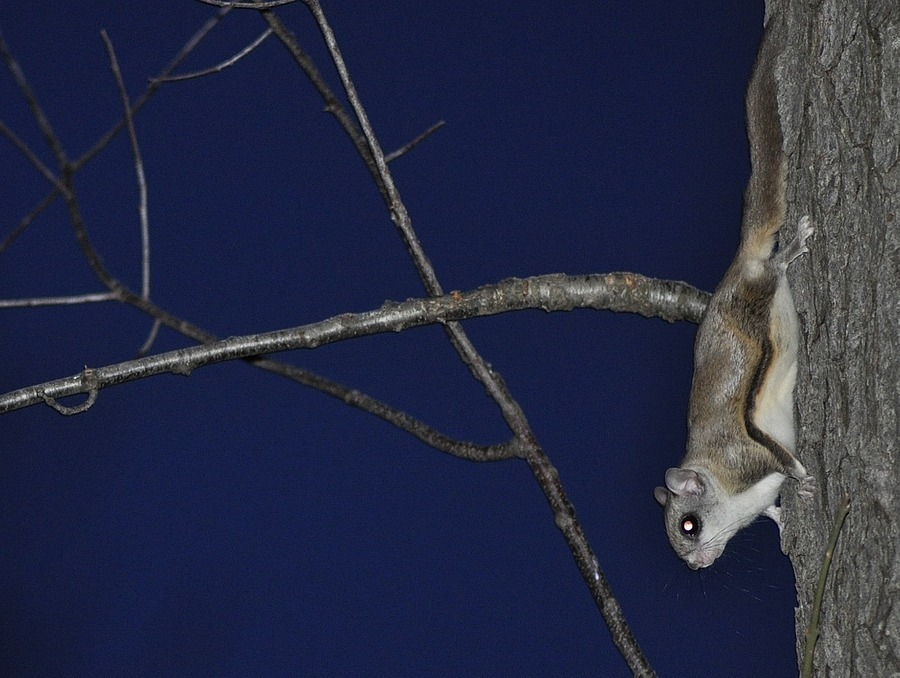 Night shot Flying squirrel | TAMRON SP 70-300MM F4-5.6 DI VC USD SP <br> Click image for more details, Click <b>X</b> on top right of image to close