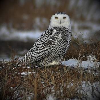 Snowy Owl | NIKON 70-300MM F/4-5.6D ED AF <br> Click image for more details, Click <b>X</b> on top right of image to close
