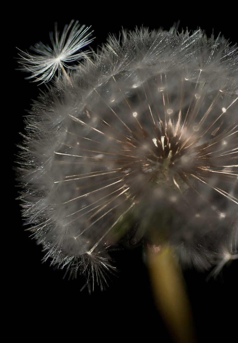 Dandelion Seeds | NIKON 60MM F/2.8D AF MICRO <br> Click image for more details, Click <b>X</b> on top right of image to close