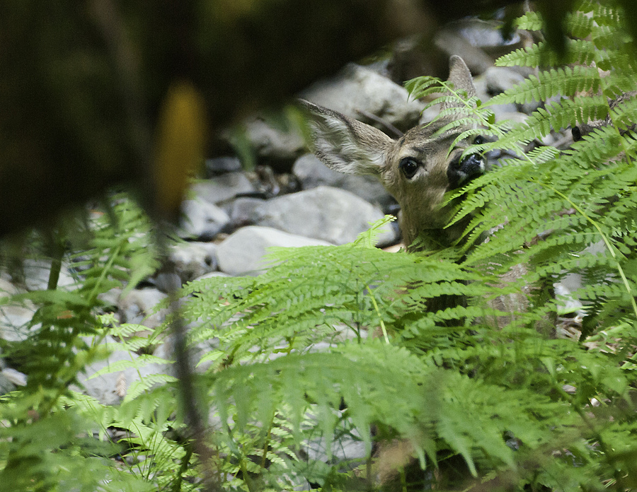 Muir Woods Fawn | LENS MODEL NOT SET <br> Click image for more details, Click <b>X</b> on top right of image to close