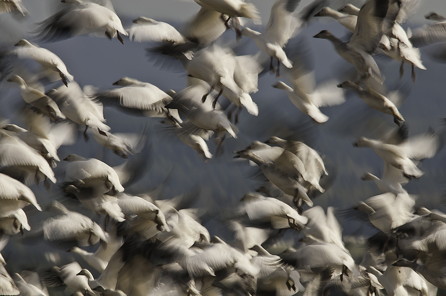 Snow Goose Commotion | SIGMA APO 150-500MM F5-6.3 DG OS HSM <br> Click image for more details, Click <b>X</b> on top right of image to close